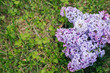 a branch of lilac on the grass