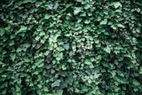ivy texture, green ivy wall