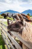 Lamas auf einem Bauernhof
