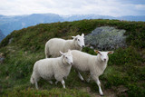 sheep on a mountain pasture - 247648140