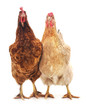 Two brown chicken.
