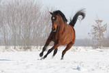 Braunes Pferd rennt im Schnee
