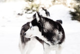 Winter husky dog