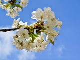 Beautiful white blossoms of an apple tree