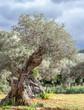 olive grove on the island of Mallorca