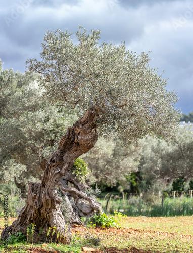 olive grove on the island of Mallorca - 247665706