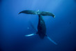 Quadro Humpback whales of Hawaii