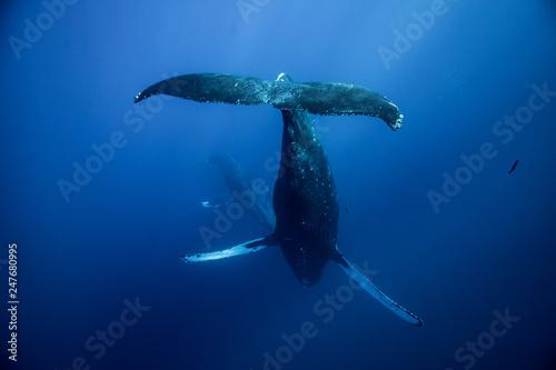 Humpback whales of Hawaii