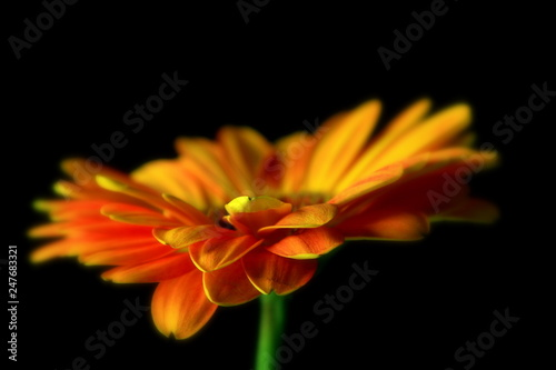 Orange Gerber Daisy  - 247683321