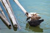 Masses duck in the Farm.Thailand.