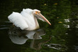 Great White Pelican(Pelecanus onocrotalus)