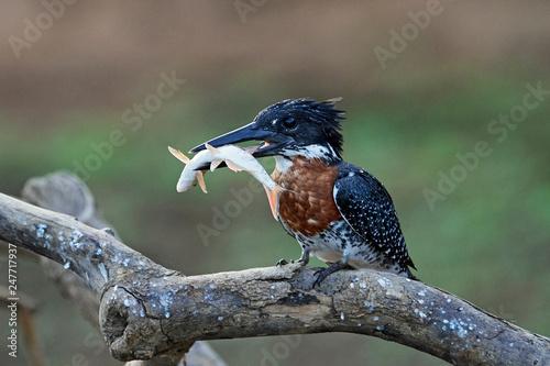 Giant kingfisher (Megaceryle maxima) © dennisjacobsen