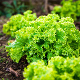 Closeup shot of a lettuce growing in garden - 247719322
