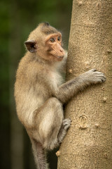Long-tailed macaque on tree trunk looking right