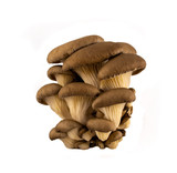 Raw oyster mushrooms (pleurotus) on white background