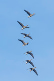 Flock of Greater White Fronted Geese Flying, Blue Sky