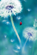 Beautiful flying red ladybug on a white dandelion. Fantastic magical image. Fabulous summer country. Fairyland.