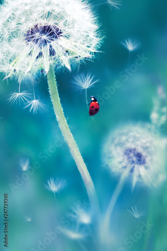 obraz PCV Beautiful flying red ladybug on a white dandelion. Fantastic magical image. Fabulous summer country. Fairyland.