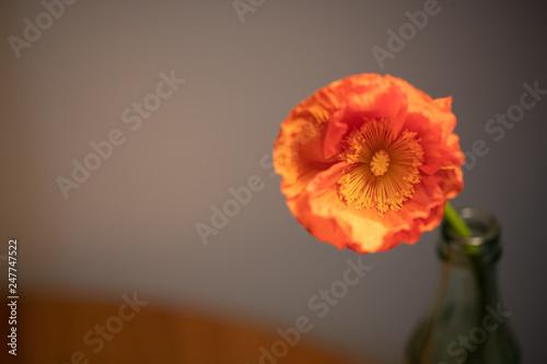 オレンジ色のポピー - 247747522