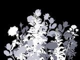 white and grey rose bush isolated on black