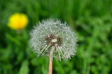Fototapeta Dmuchawce - Yellow dandelion flowers and Dandelion seeds © ismailyurtozveri
