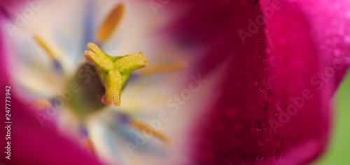 Macro of pink tulip flower inside.Flower Background. - 247773942