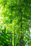 bamboo trees and leaves