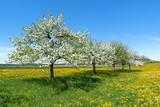 Mehrere blühende Apfelbäume diagonal in einer Reihe auf einer Blumenwiese im Frühling