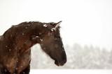 Schönheit. Portrait eines schwarzen Pferdes im Schnee