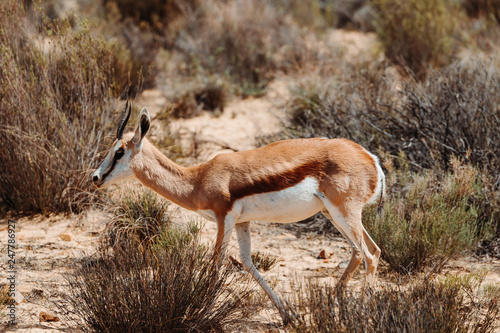 South African Springbok © josef_hajda