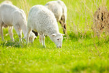 Horizontal close-up image of grazing sheep in a summer meadow. - 247789175