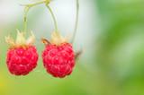 Red ripe raspberries (Rubus idaeus). Focus on berries, shallow depth of field.