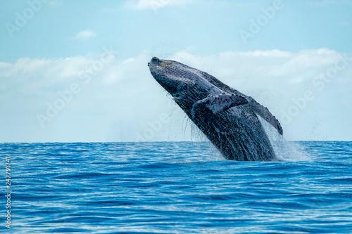 Leinwandbild Motiv humpback whale breaching
