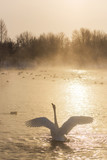 Beautiful white whooping swan swimming in the nonfreezing winter lake on sunset. The place of wintering of swans, Altay, Siberia, Russia.