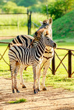 Adult zebra with young zebra enjoying the morning sun in a park in City of Tshwane, Gauteng, South Africa