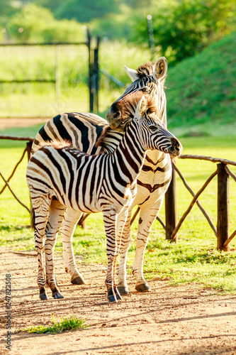 Adult zebra with young zebra enjoying the morning sun in a park in City of Tshwane, Gauteng, South Africa - 247822508