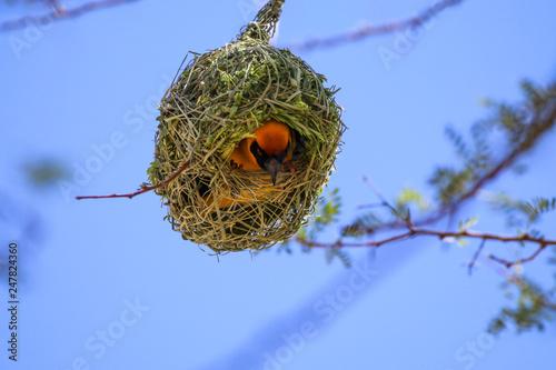 Leinwandbild Motiv Webervogel beim Nestbau
