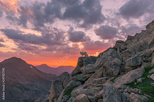 Mountain Goats at Sunset in the Colorado High Country