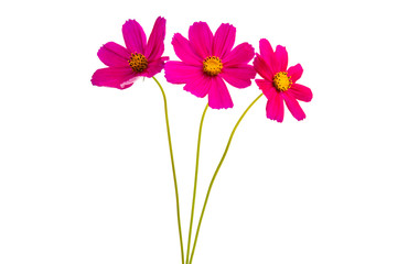 Cosmea flowers isolated