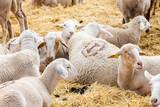 Sheep on the farm - 247833959