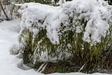 Bambus mit Schneebedckt im Schneefall