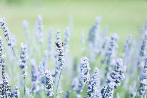 Papillon et lavande de Provence - 247838343