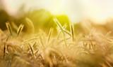 getreide ähren sonne natur - 247848518