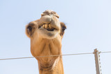 wild camels in the hot dry middle eastern desert, desert animals in an arid landscape.