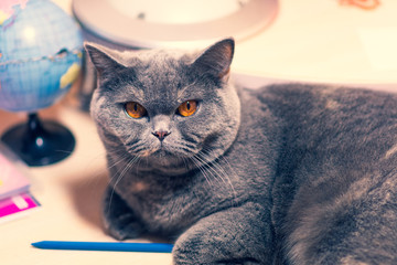 cat's muzzle, cat's eyes, the terrible look of a cat that lies on the table