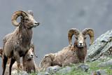 Bighorn Sheep Yellowstone National Park  - 247857306