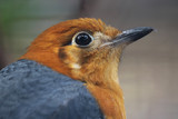 Head of an orange-headed thrush (zoothera citrina) in side view looking upwards