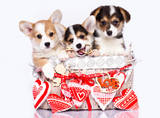 Valentines day and welsh corgi puppies