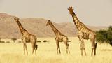 giraffes in namib desert  - 247872303
