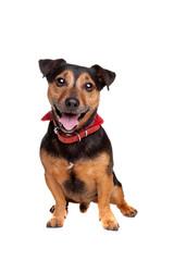 black and tan jack russel terrier
